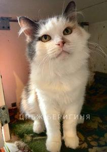Кошка Брынза приют Беригиня