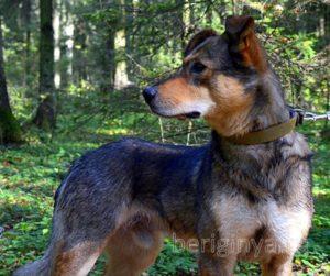 Собака Брумель приют Беригиня