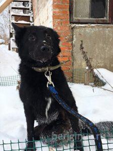 Собака Скрич приют Беригиня