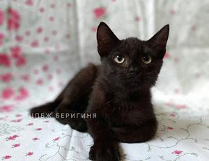 Кошка Стич приют Беригиня